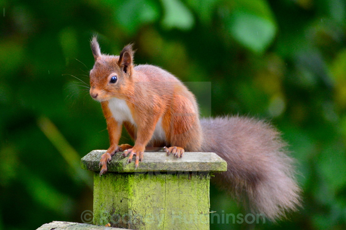 """""""Red Squirrel, Dumfires and Galloway"""" stock image"""