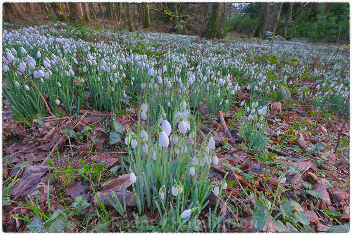 """""""Snowdrops in Dumfries and Galloway"""" stock image"""