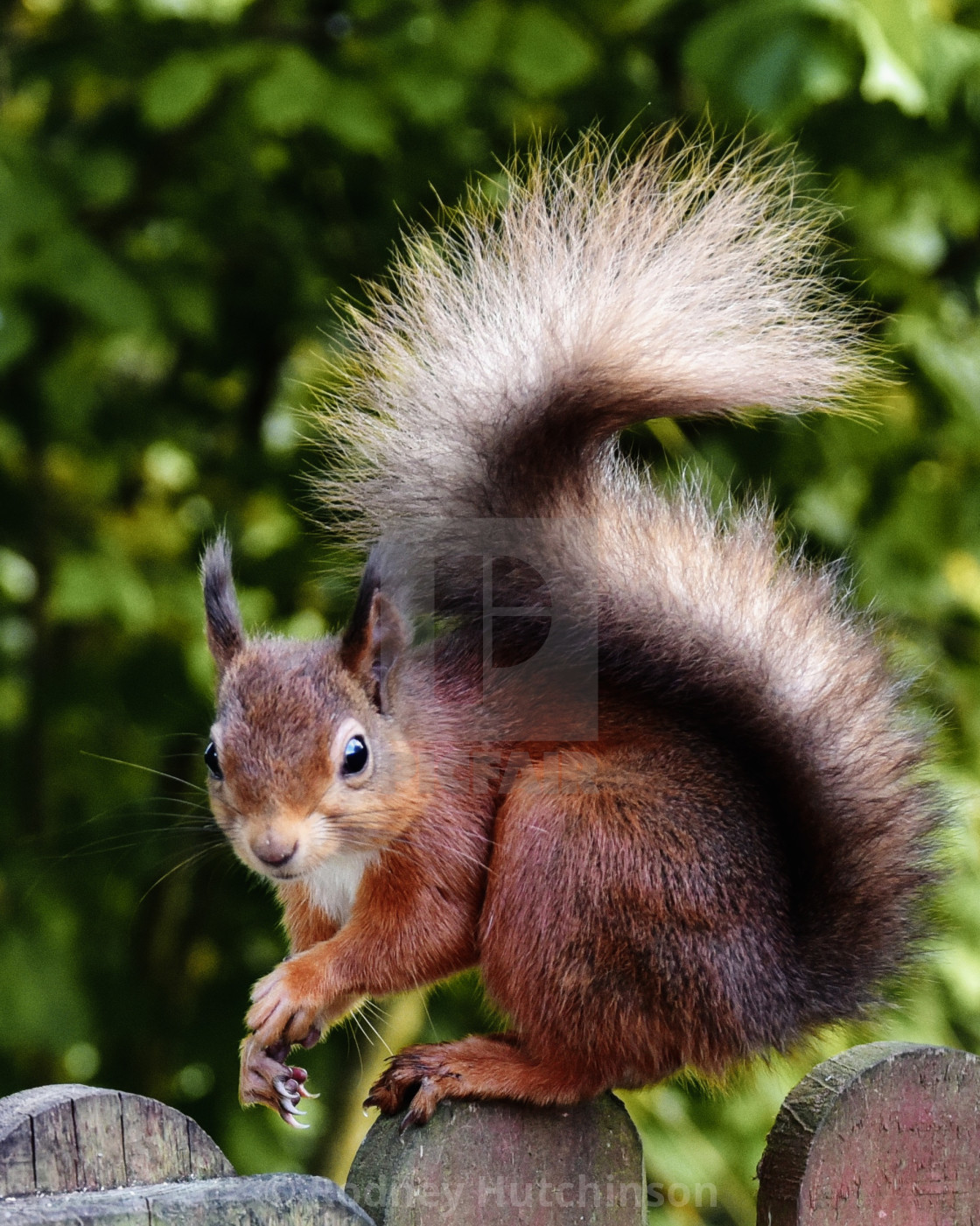 """Red Squirrel"" stock image"