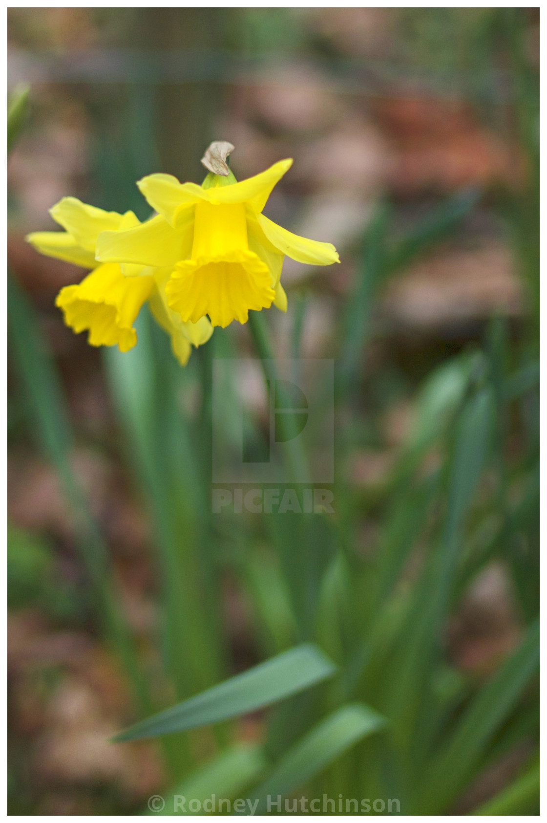 """Daffodils in Dumfries and Galloway"" stock image"