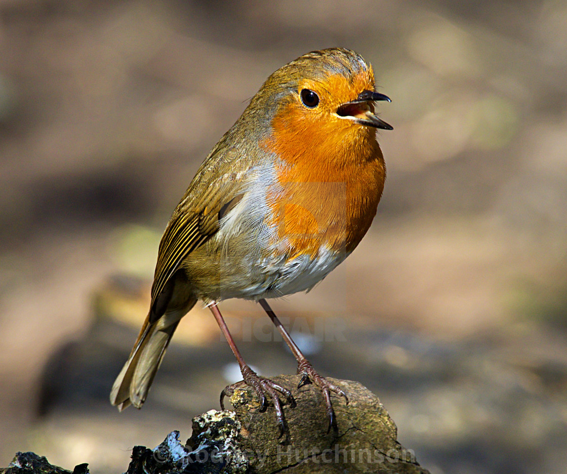 """Robin in the spring sunshine"" stock image"