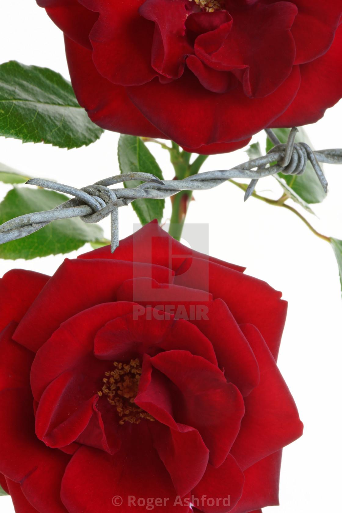 """Imprisoned Roses"" stock image"