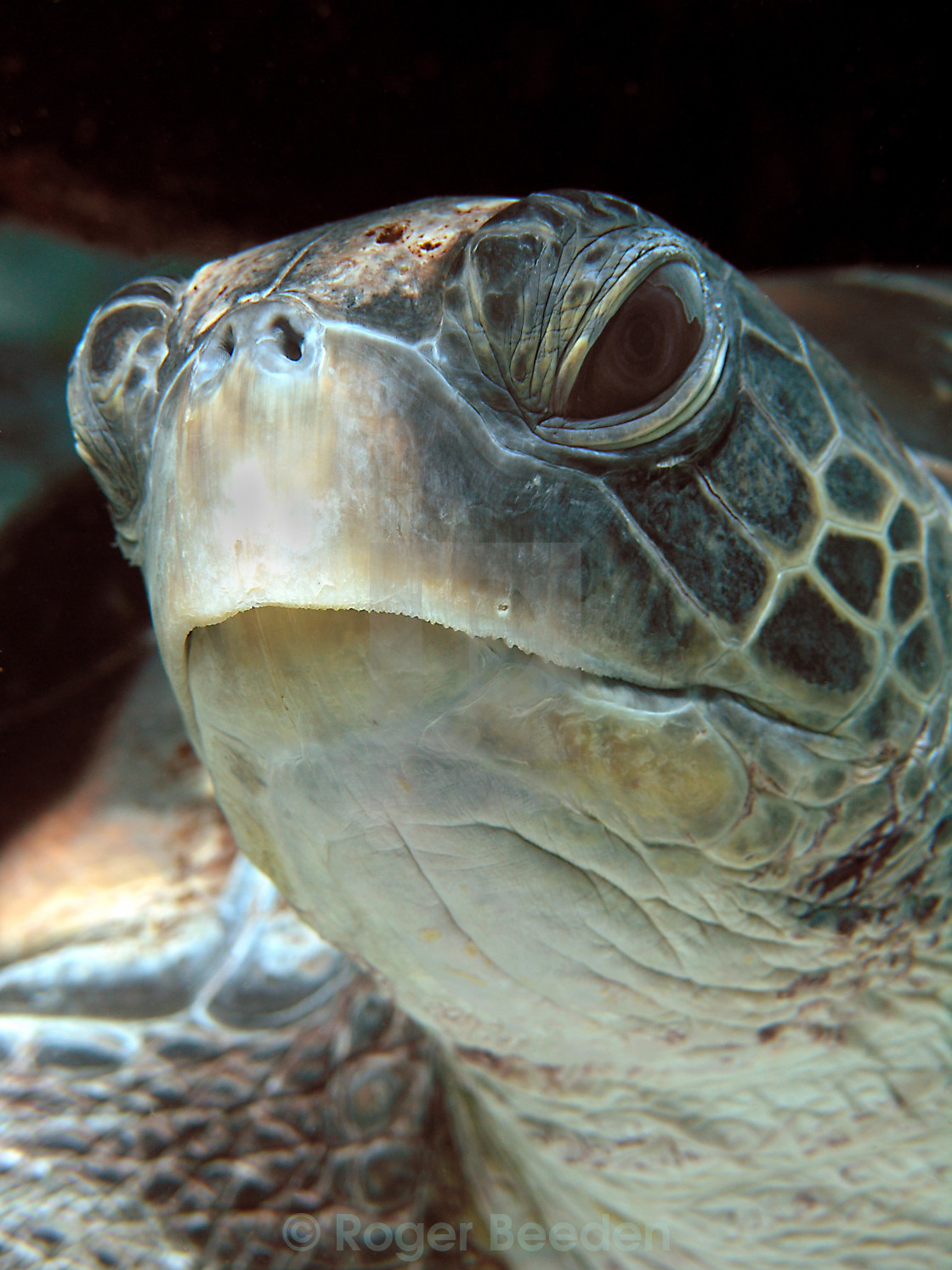 """Green turtle mugshot"" stock image"