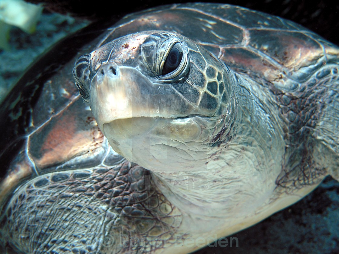 """Lucky Green Turtle"" stock image"
