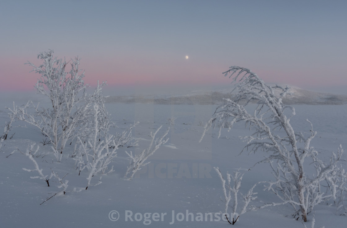 """Small trees covered in frost"" stock image"