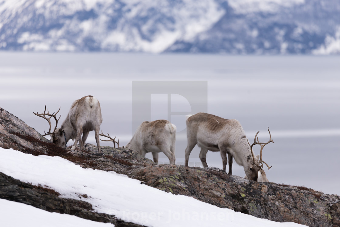 """Herd of reindeer eating"" stock image"