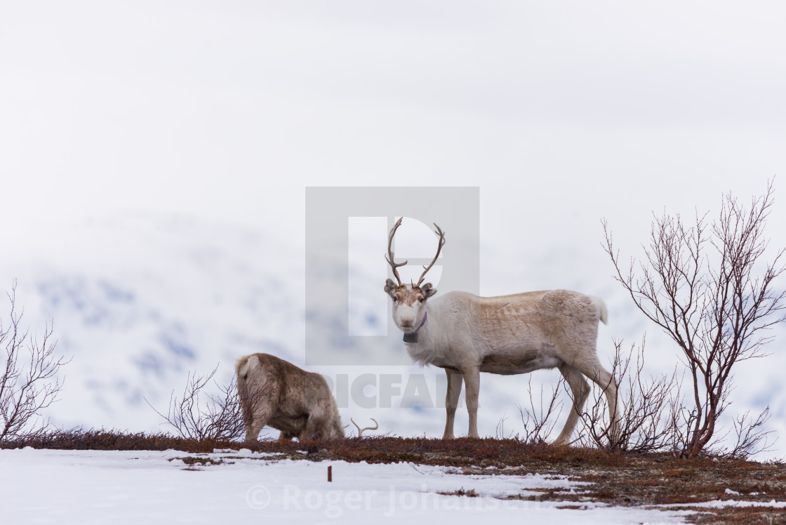 """Reindeer watching"" stock image"