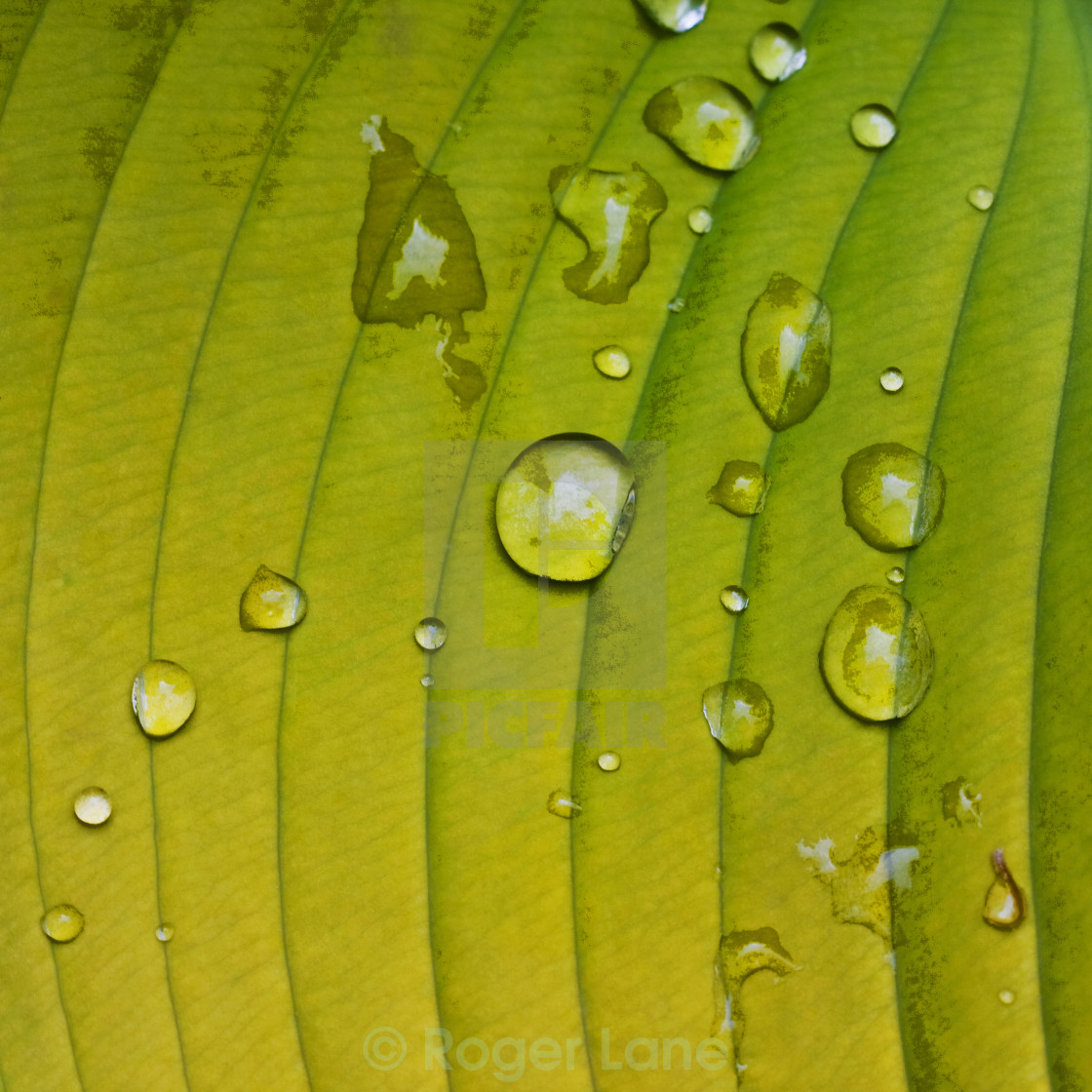"""Raindrops on Leaf"" stock image"