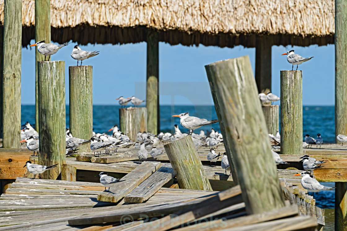"""""""Terns on a pier"""" stock image"""