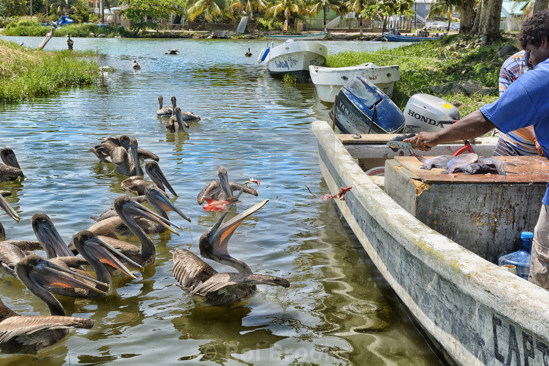 """Pelicans enjoy easy meals"" stock image"