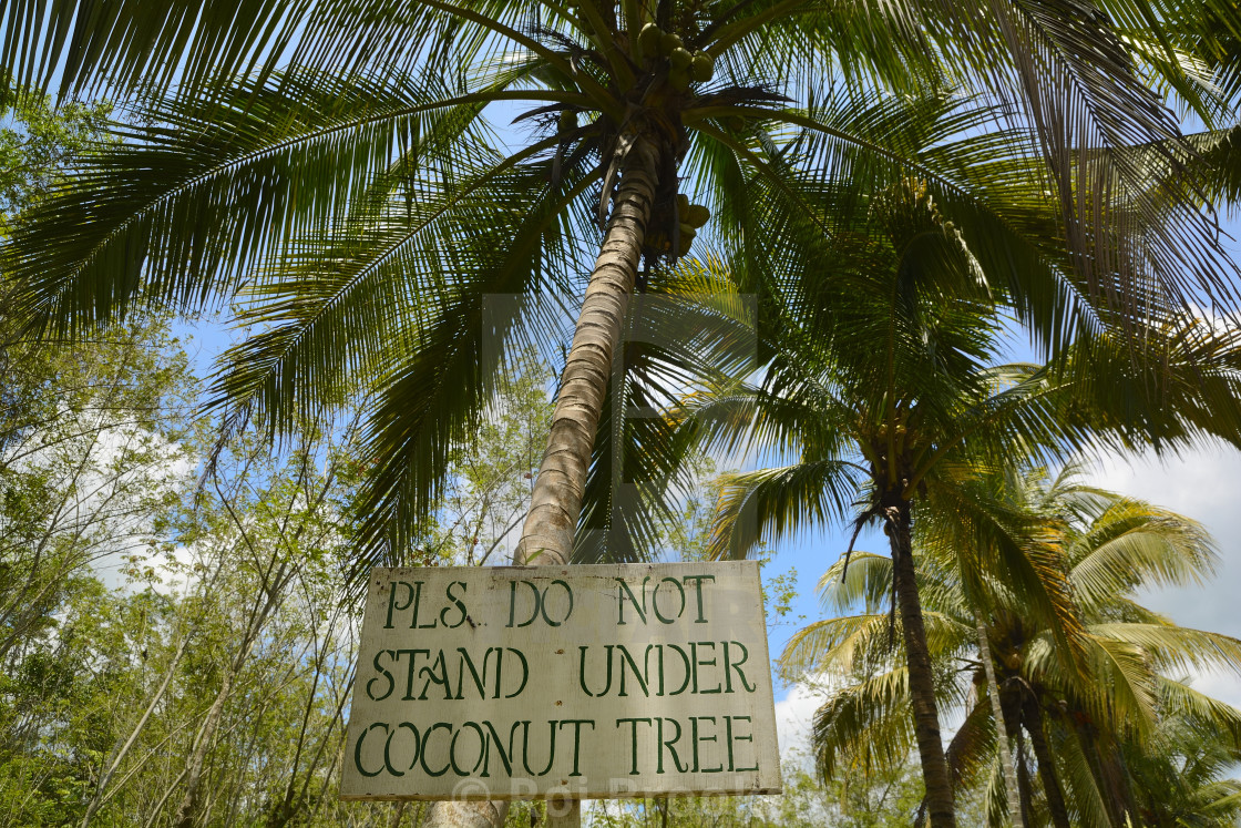 pls don t stand under coconut tree license for 6 20 on picfair