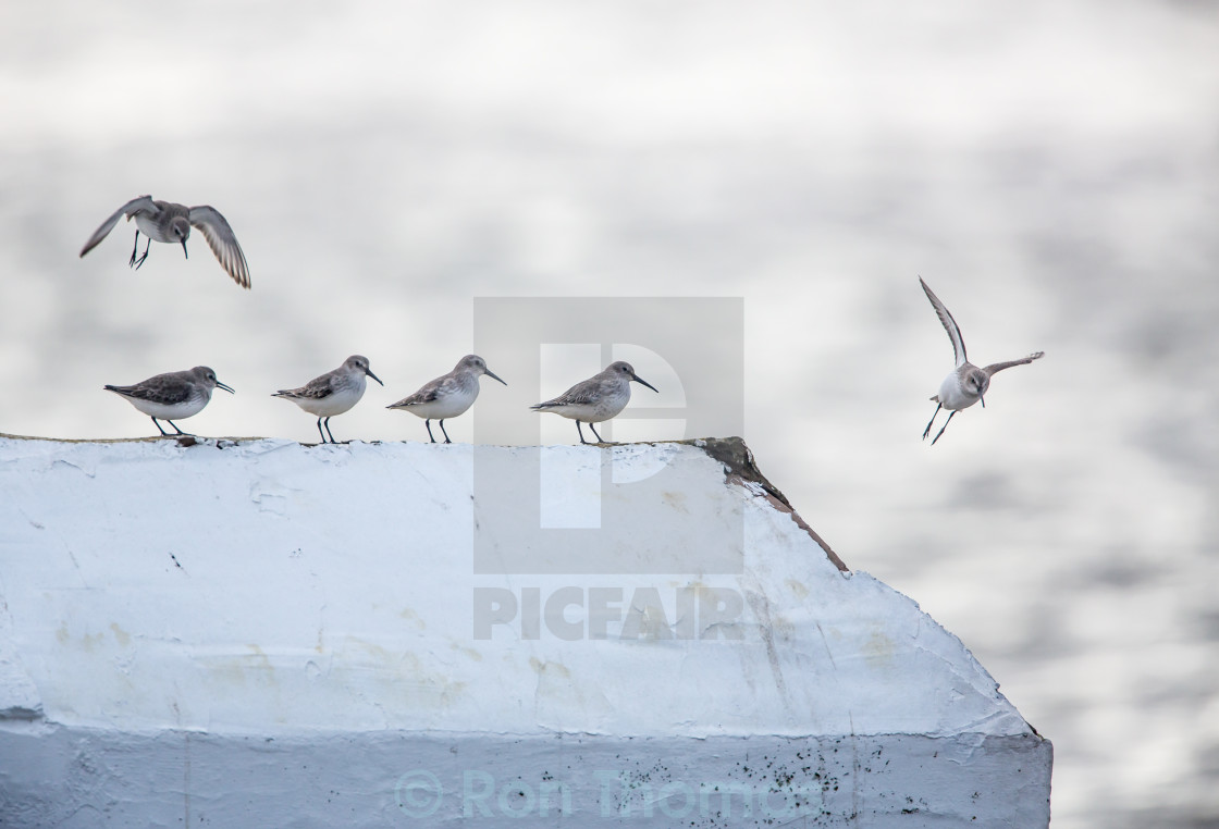 """Dunlins roosting on a wall"" stock image"