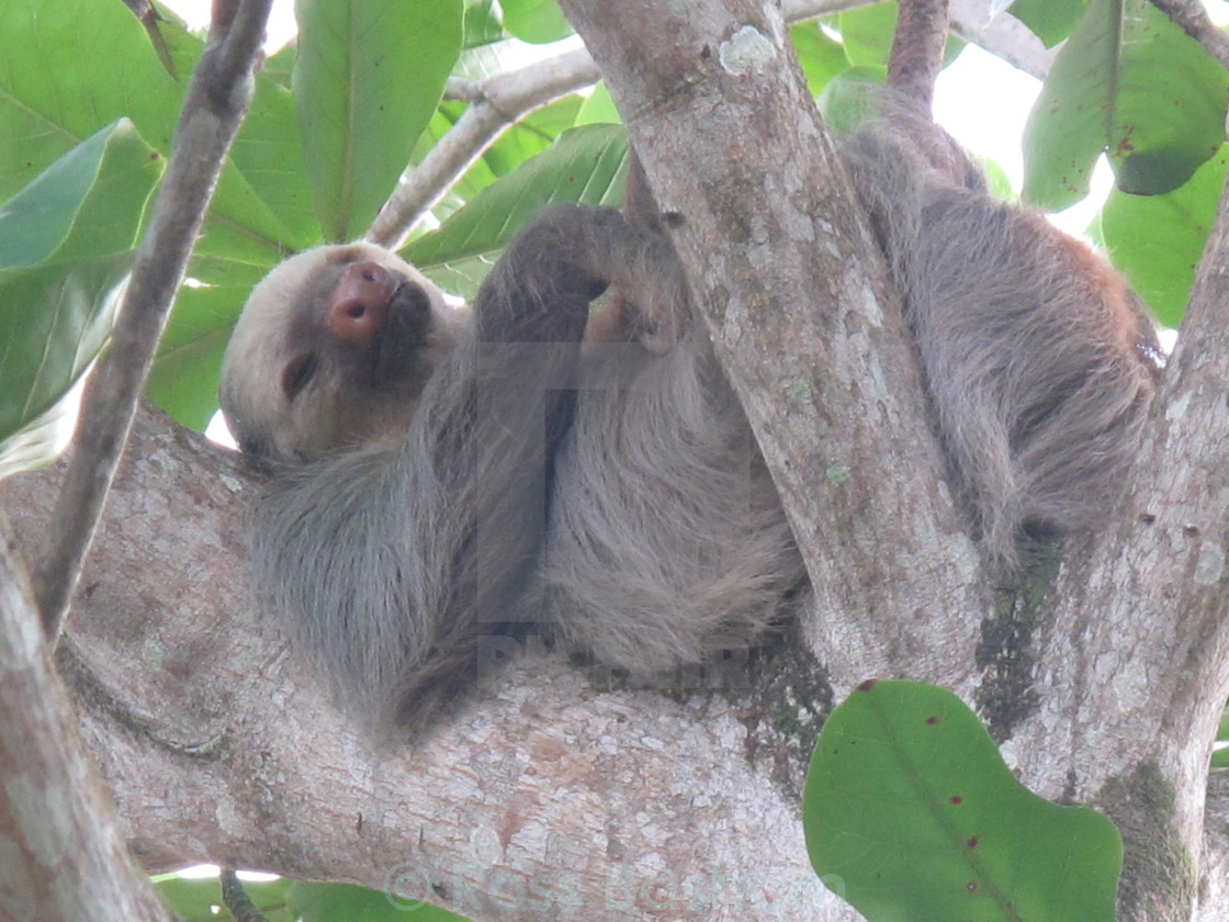 """""""Two toed Sloth"""" stock image"""