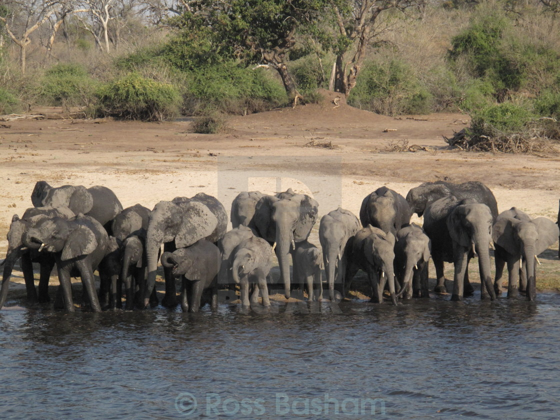 """""""African family of Elephants"""" stock image"""