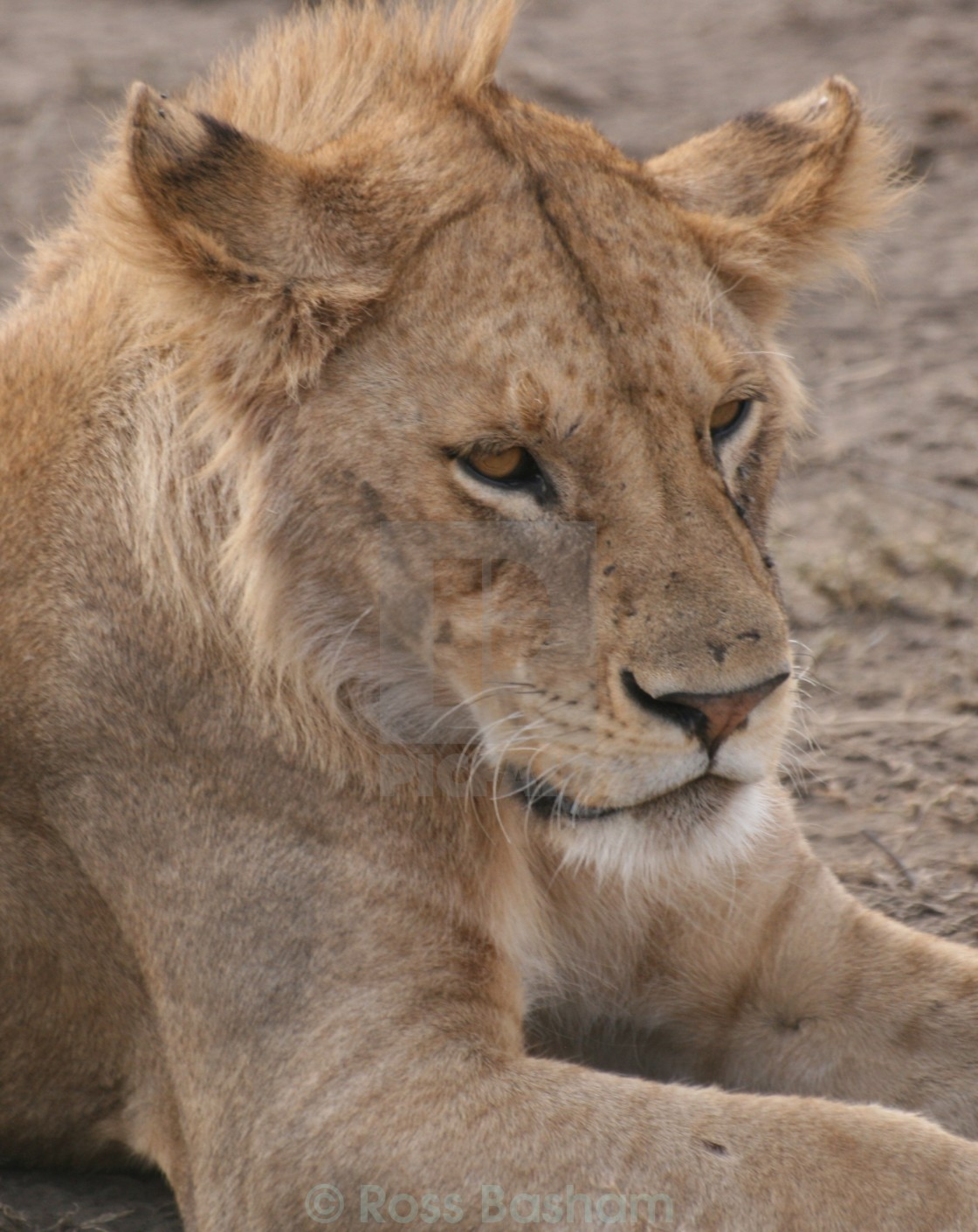 """Lion in the Serengeti"" stock image"