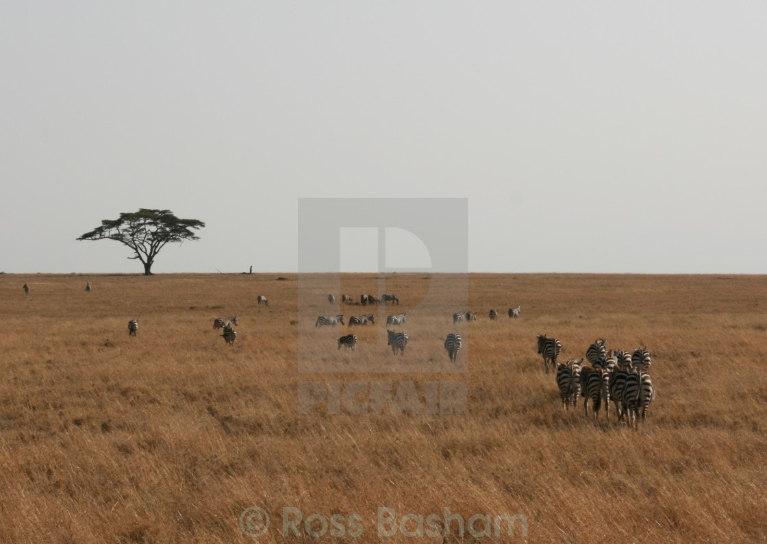 """""""Zebras in the Serengeti"""" stock image"""