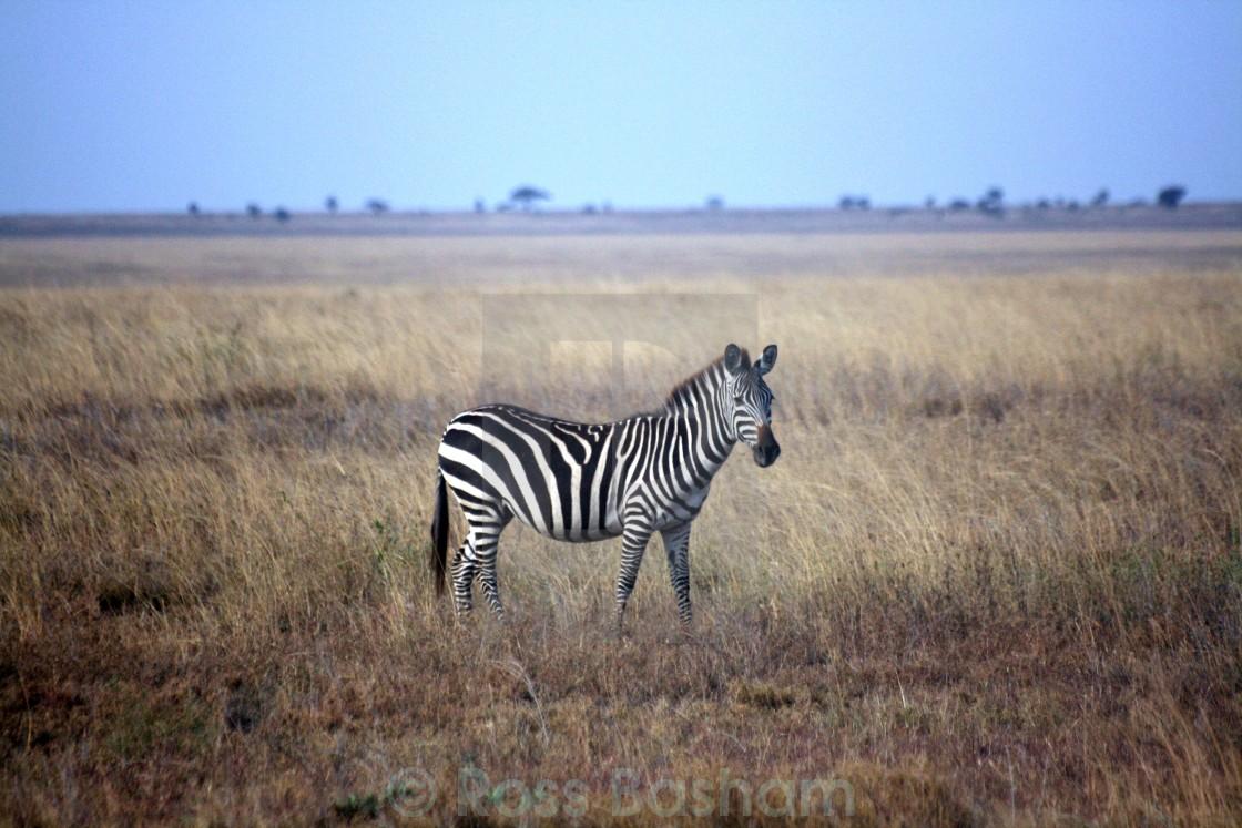 """""""Zebra in the Serengeti"""" stock image"""