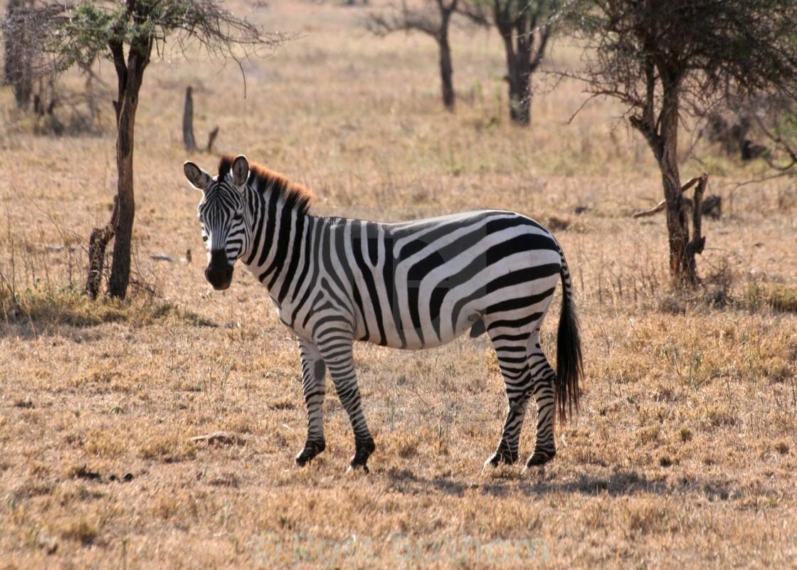 """""""Zebra in the Serengeti (1)"""" stock image"""