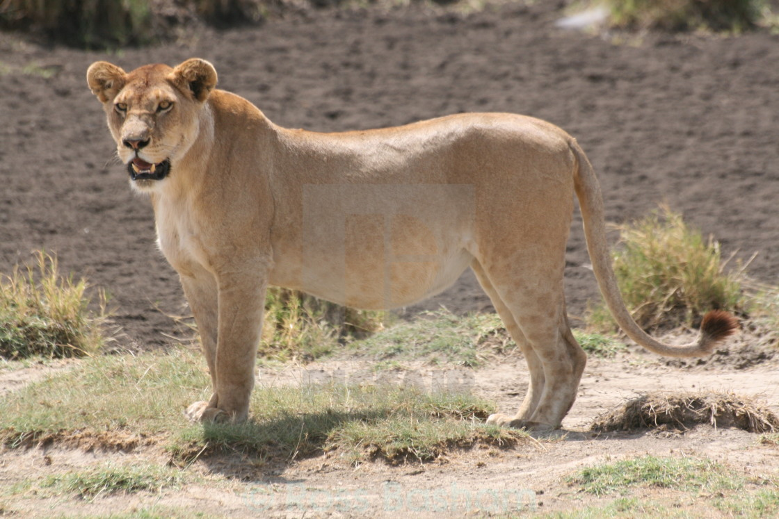 """""""Young male Lion in the Serengeti"""" stock image"""