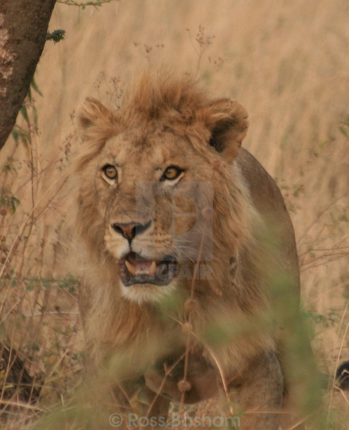 """Lion panting in the Serengeti"" stock image"