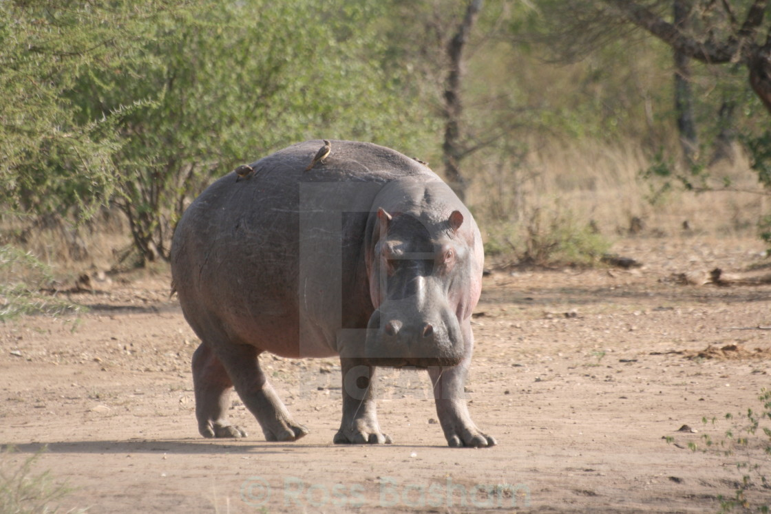 """""""Rare Hippo out of water"""" stock image"""