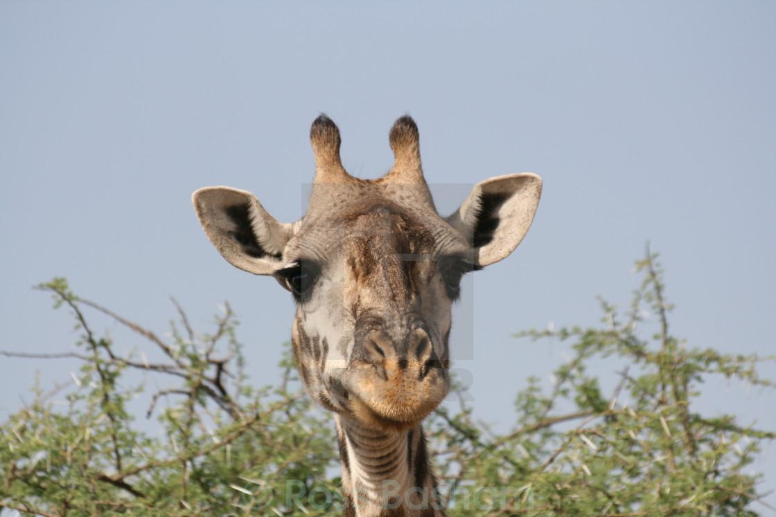 """""""Goofy giraffe in the Serengeti"""" stock image"""