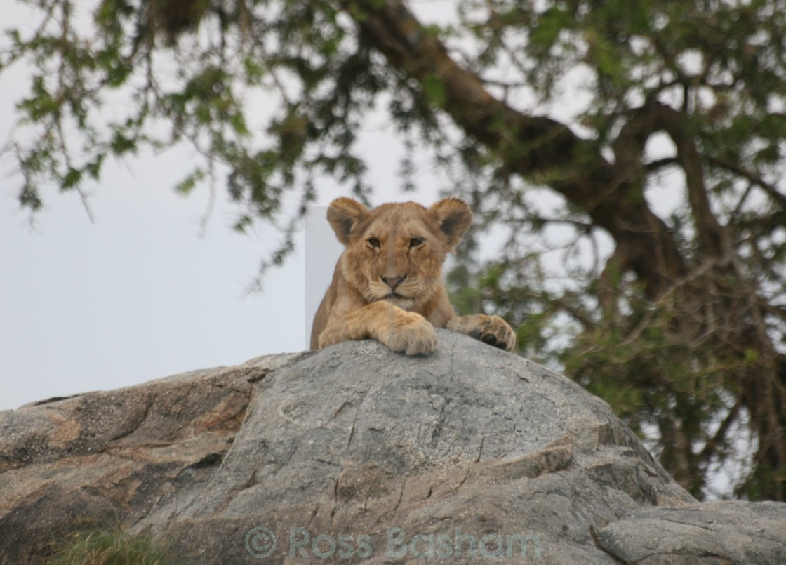 """""""Lion cub. Like butter wouldn't melt..."""" stock image"""