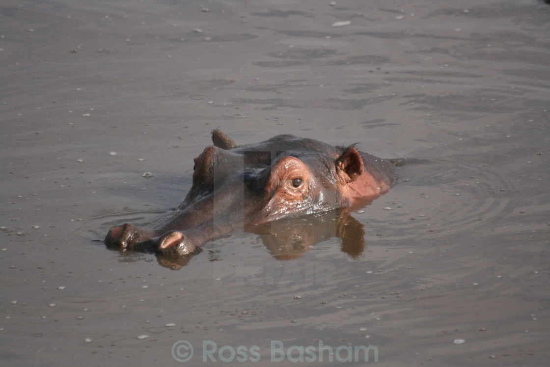 """Hippo in the water"" stock image"