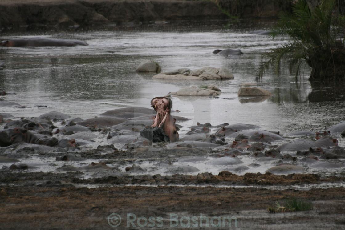 """""""Hippo yawning"""" stock image"""