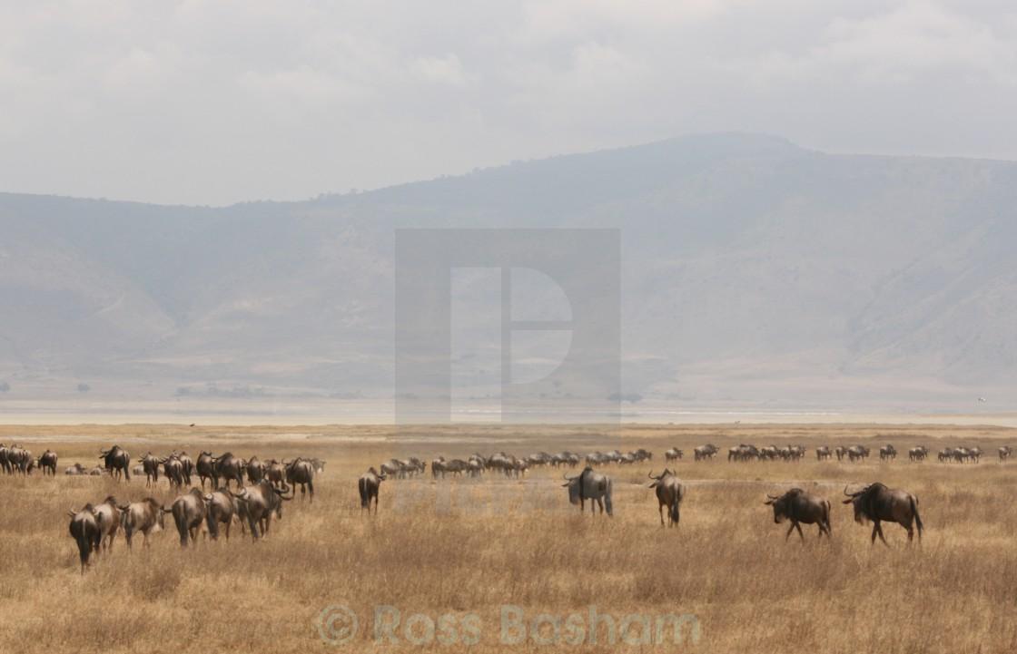"""Wildebeest migration landscape"" stock image"