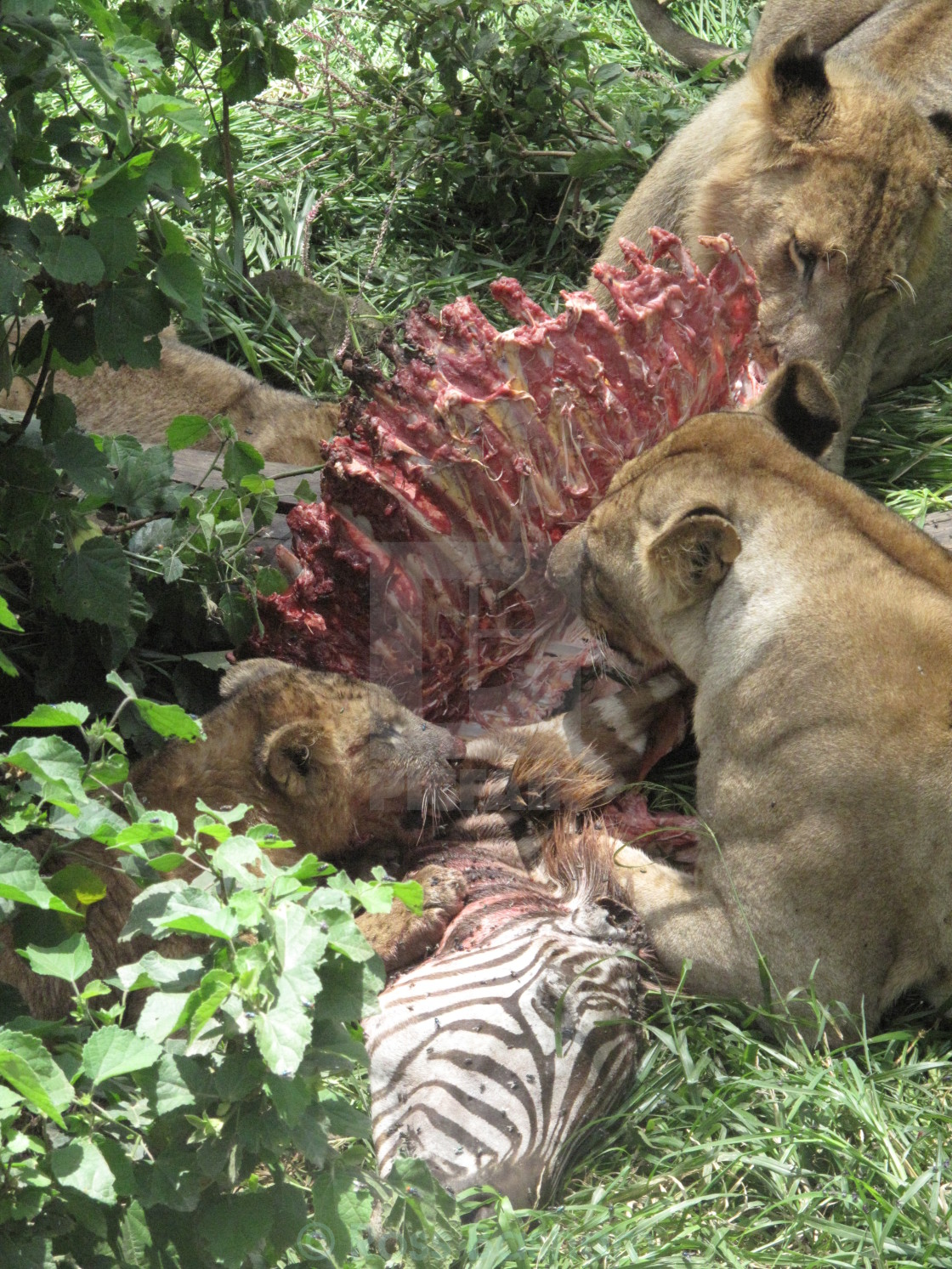 """""""Lions feasting on a zebra"""" stock image"""