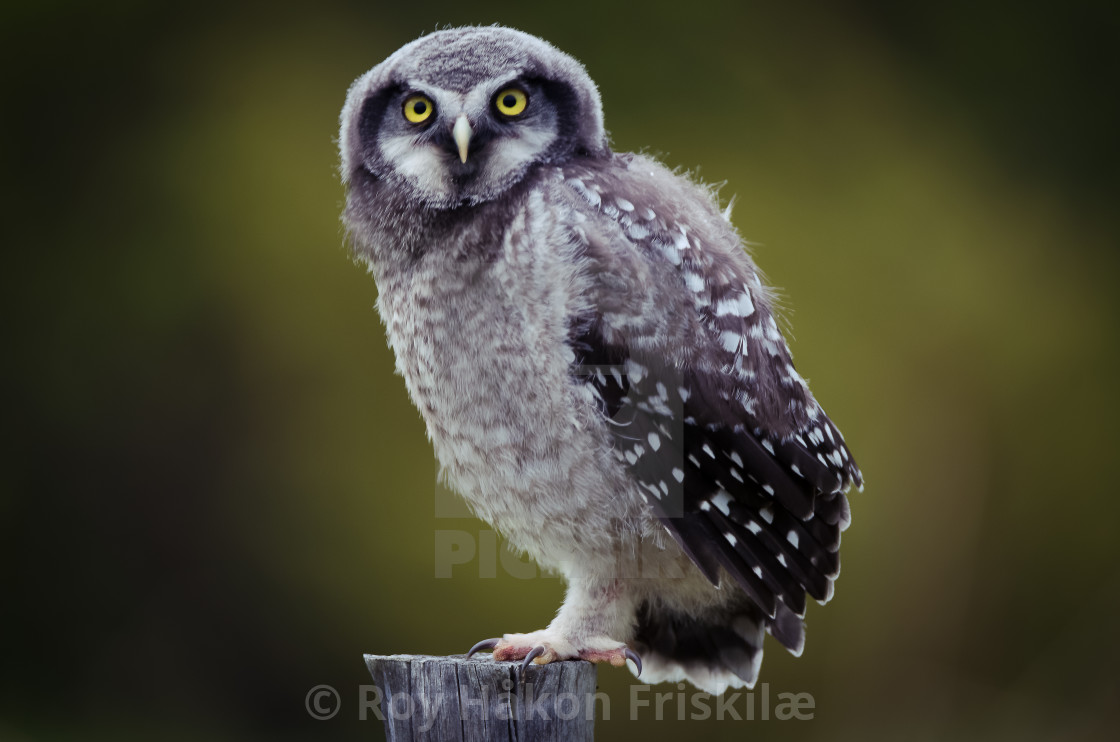 """Northern hawk owl"" stock image"