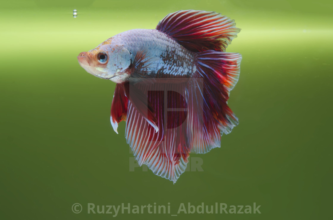 """A Fighting Fish"" stock image"