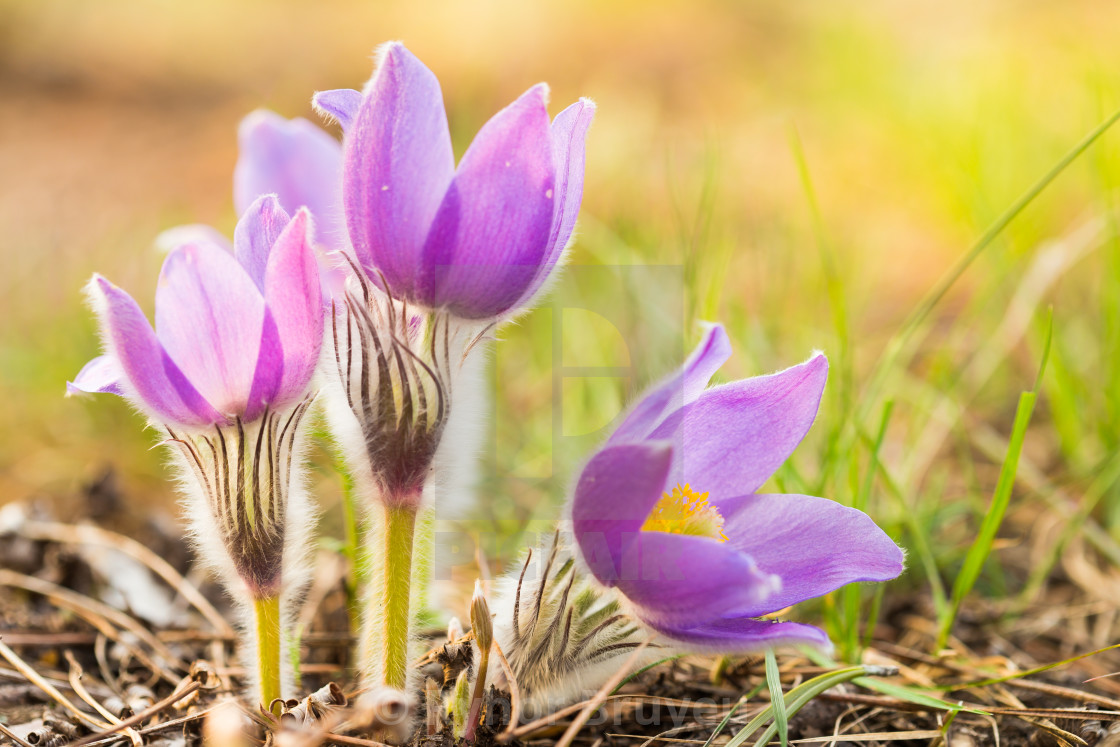 Wild Young Pasqueflower In Early Spring Flowers Pulsatilla Patens