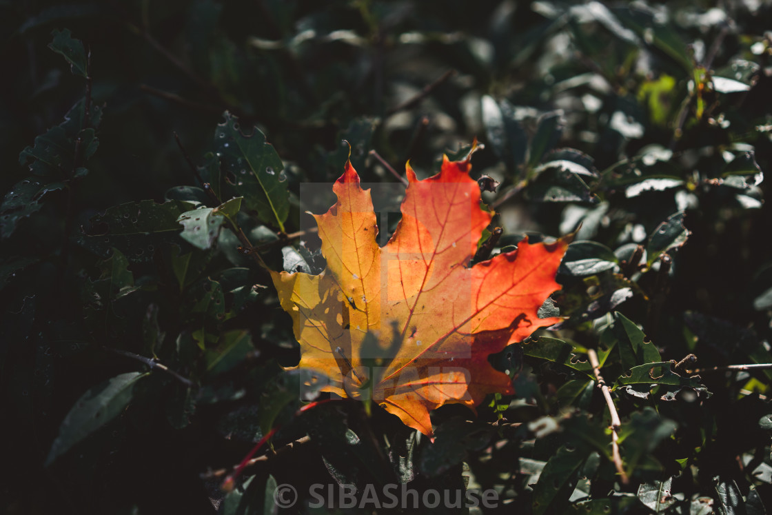 """Red-orange leaf in sunlight on bokeh background. Green toning. Beautiful..."" stock image"
