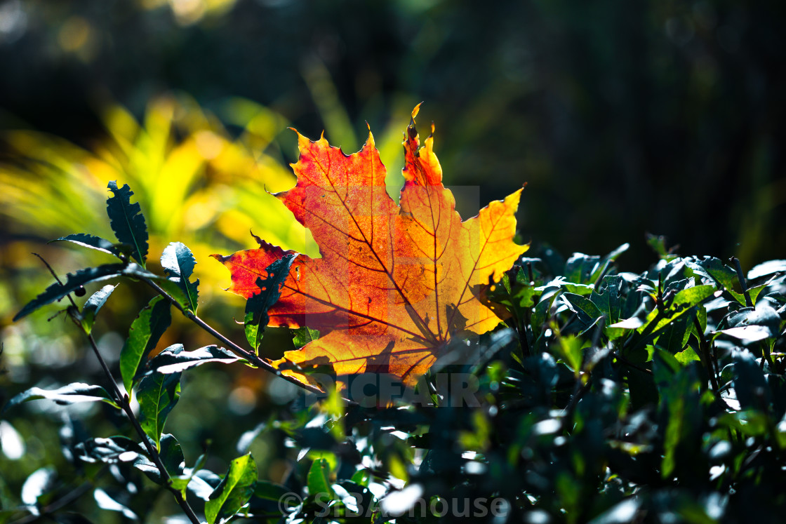 """Red-orange leaf in sunlight on bokeh background. Beautiful autumn landscape..."" stock image"