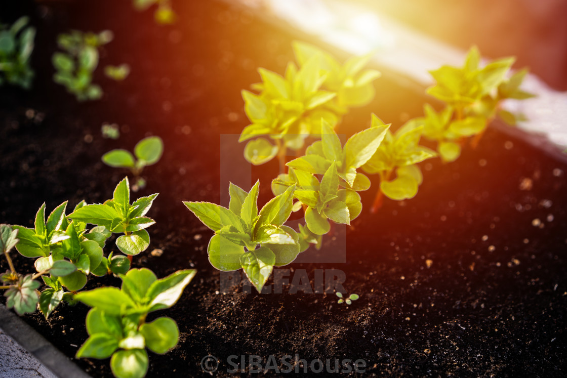 """Ecology concept. The seedling are growing from the rich soil. Young plants in..."" stock image"