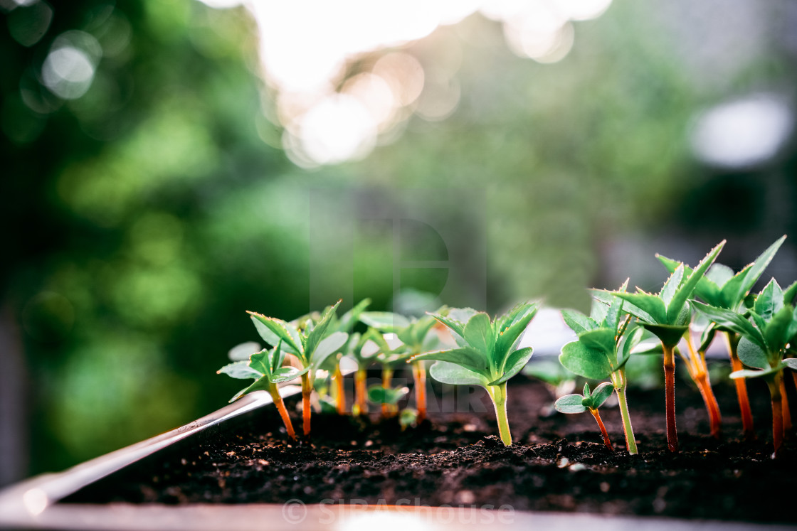"""""""Ecology concept. The seedling are growing from the rich soil. Small depth of..."""" stock image"""