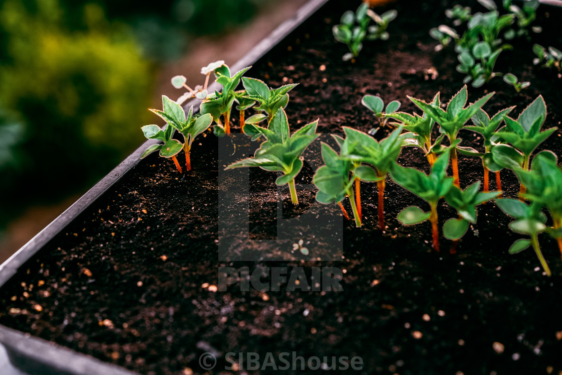 """Ecology concept. The seedling are growing from the rich soil. Small depth of..."" stock image"