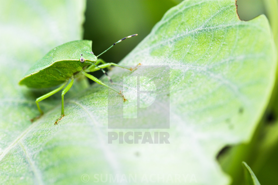 """Green Stink Bug"" stock image"