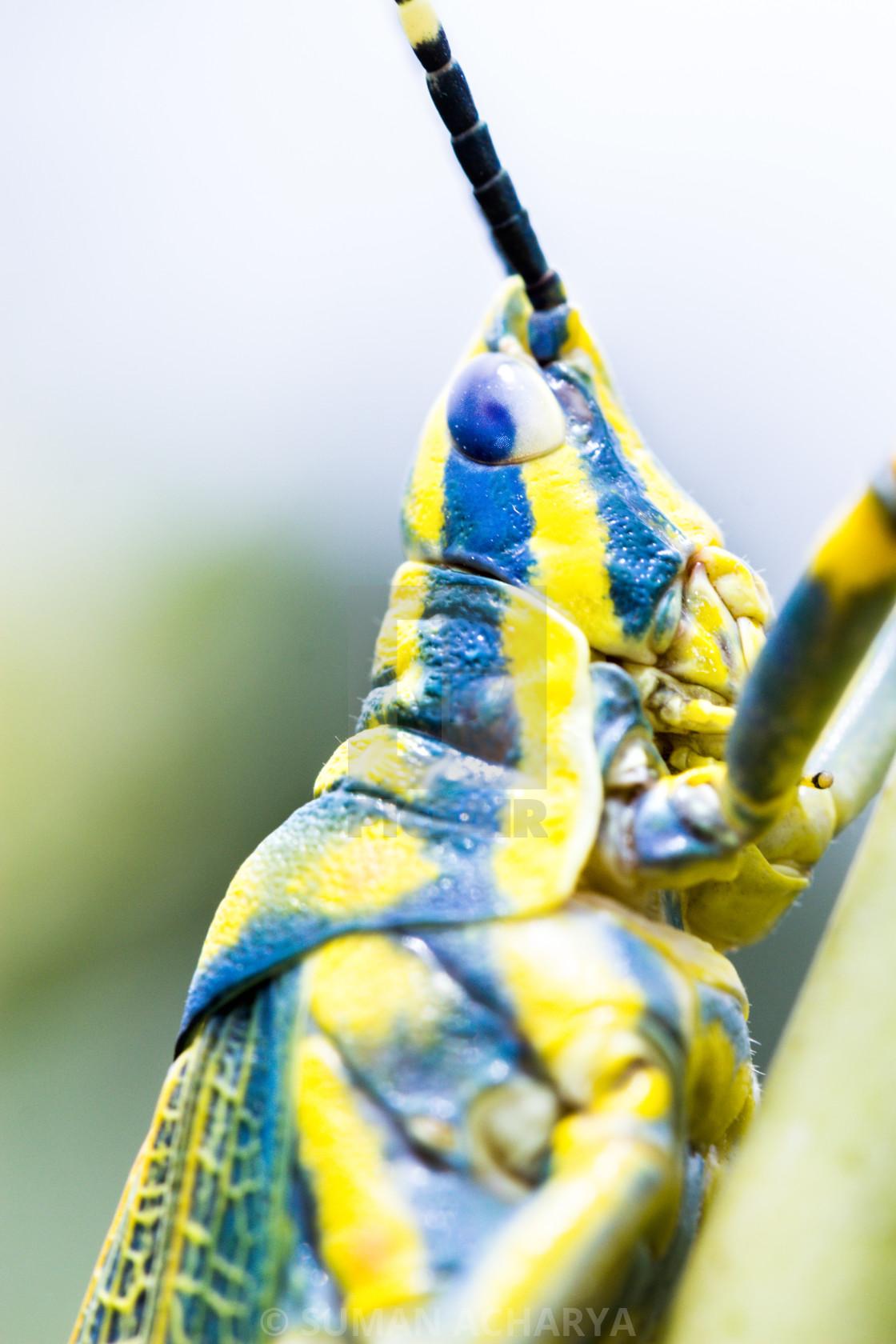 """Painted Grasshopper"" stock image"