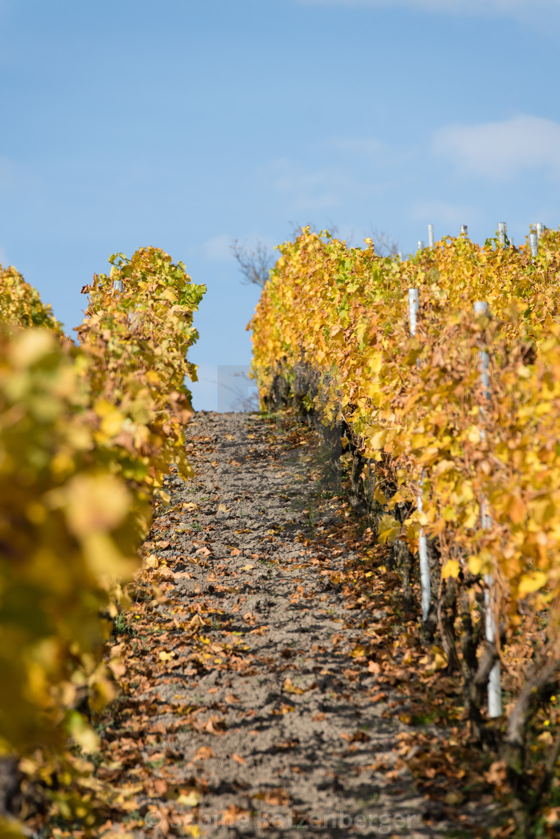 """""""A vineyard in fall"""" stock image"""
