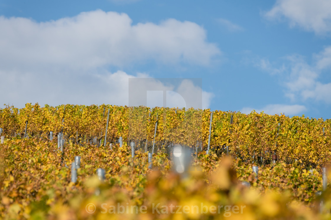 """A vineyard in fall"" stock image"