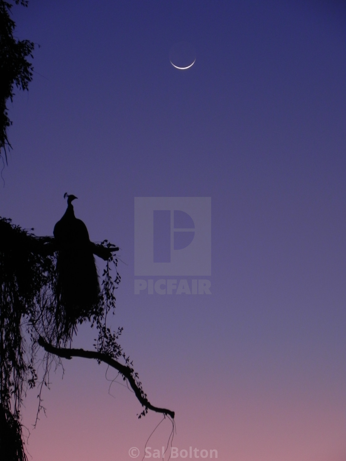 """Peacock at Moonlight, Queensland, Australia"" stock image"