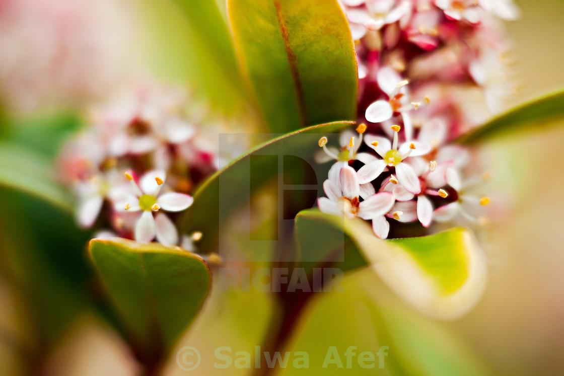 """Viburnum Tinus Flowers"" stock image"