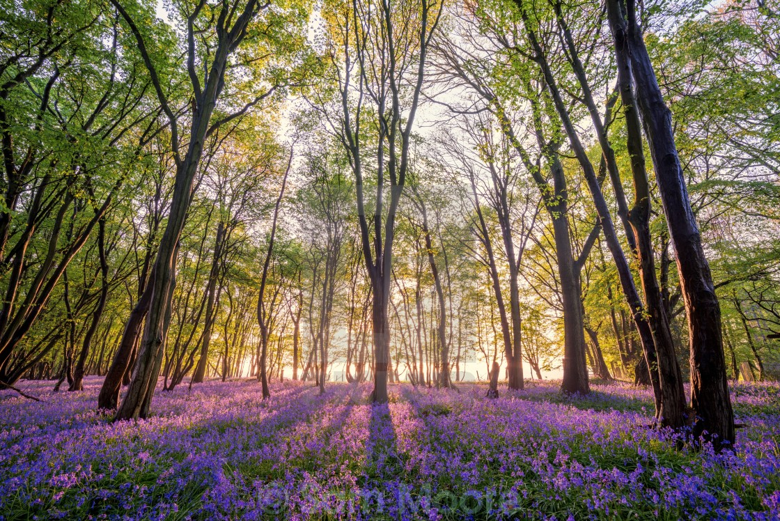 """Bluebell Forest"" stock image"