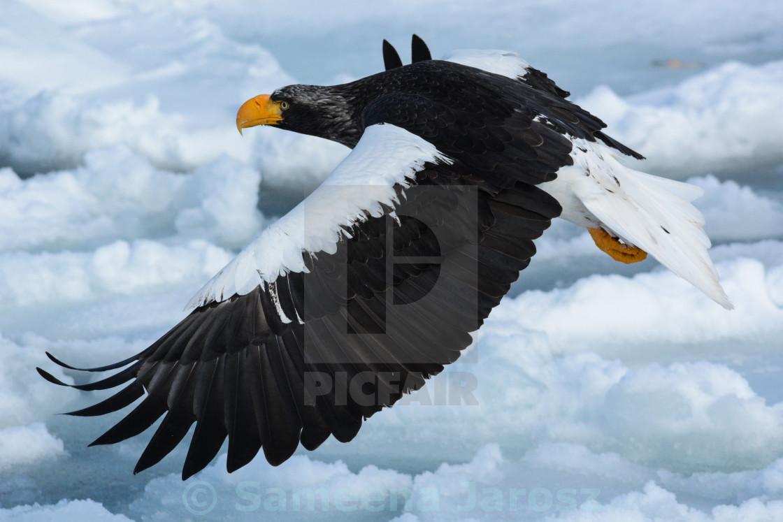 """""""Flying eagle"""" stock image"""