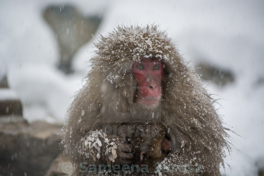 """""""Mother and baby Japanese snow monkeys"""" stock image"""