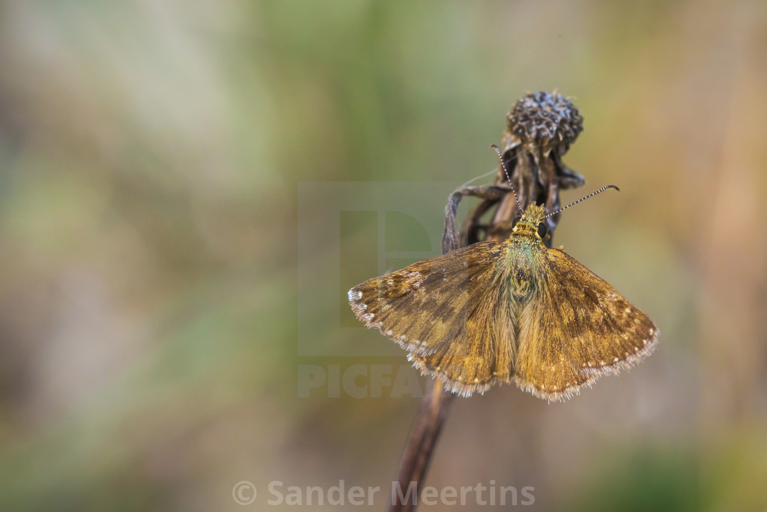 """Closeup of a dingy skipper butterfly, Erynnis tages, resting"" stock image"