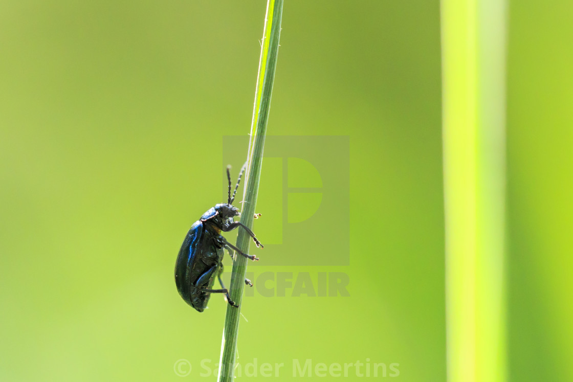 """""""Closeup of a small alder leaf beetle, agelastica alni, insect climbing up on..."""" stock image"""